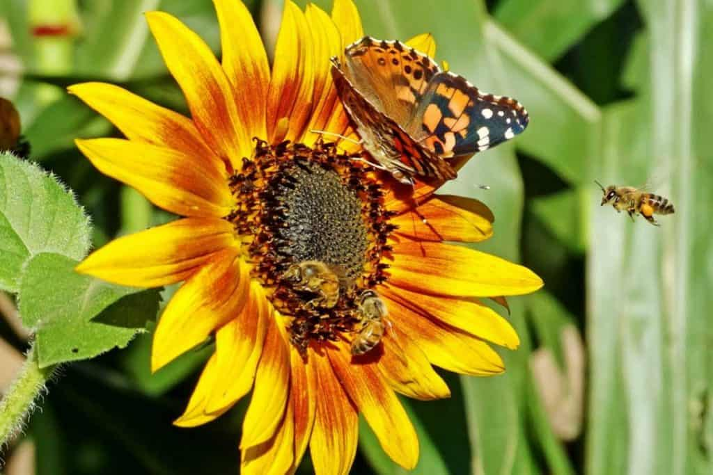 wildflower seeds for bees and butterflies